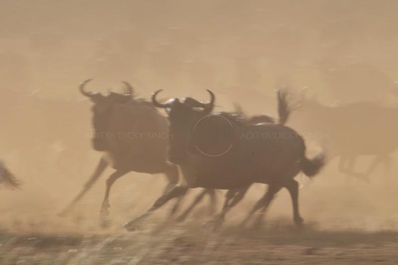 Wildebeest (or wildebeest, wildebeests or wildebai, gnu) on the run in Masai Mara, Kenya, Africa