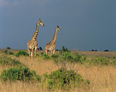 Kenya, Masai Mara National Reserve/ Giraffes, Masai race, Giraffa camelopardalis.  804H2