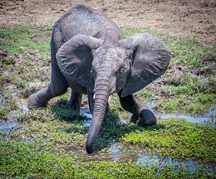 Elephant reach.  S Luangwa National Park