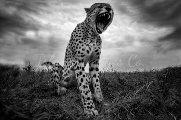 Full Cheetah Yawn bnw