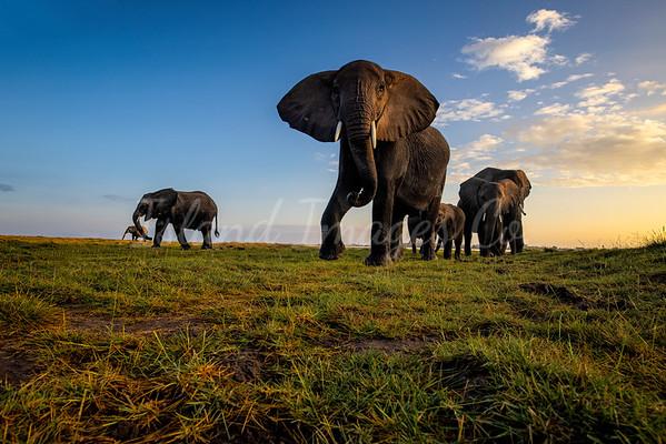 The Matriarch Elephant
