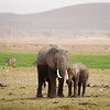 Numbering three to five million in the last century, African elephant populations were severely reduced to its current levels because of hunting. In recent years, the growing demand for ivory, particularly from Asia, has led to a surge in poaching. Populations of elephants-especially in southern and eastern Africa--that once showed promising signs of recovery could be at risk due to the recent surge in poaching for the illegal ivory trade.