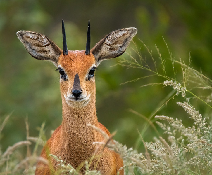 Hello Little Steenbok