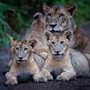 Lake Nakuru lions 3