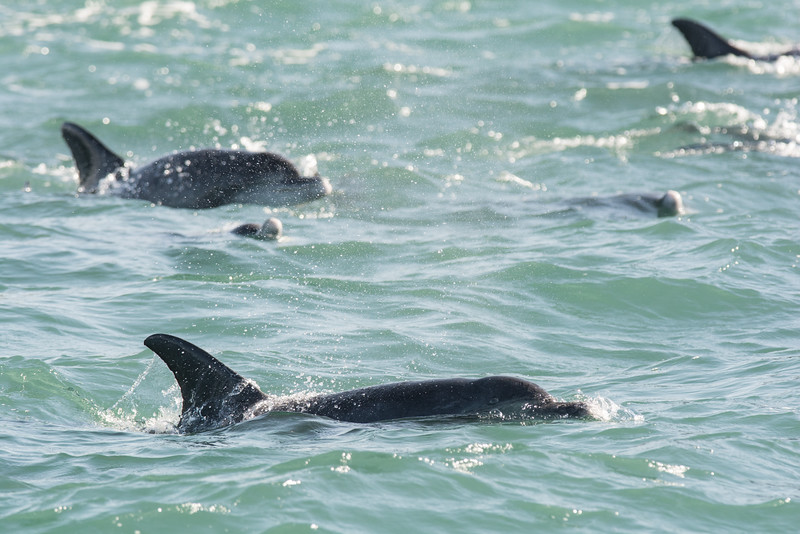 Dolphins, Indiana Ocean off the coast of South Africa