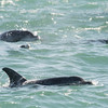 Dolphins, Indian Ocean off the coast of South Africa