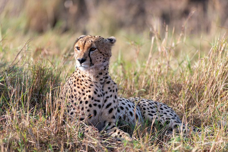 Watchful Cheetah
