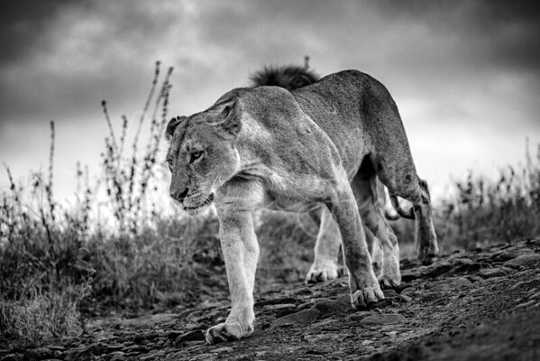 Moody BNW Lioness