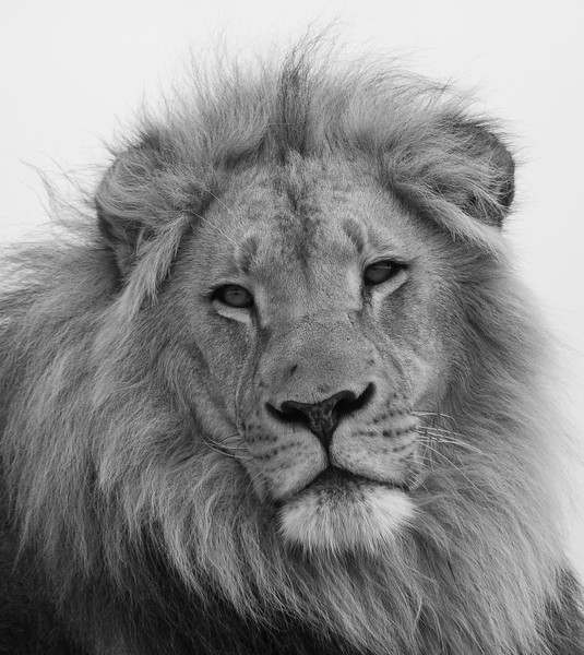 [Captive Animal] Male lion at rehab facility, South Africa