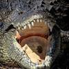 Croc teeth