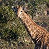 Giraffe feeding on acacia leaves, South Africa