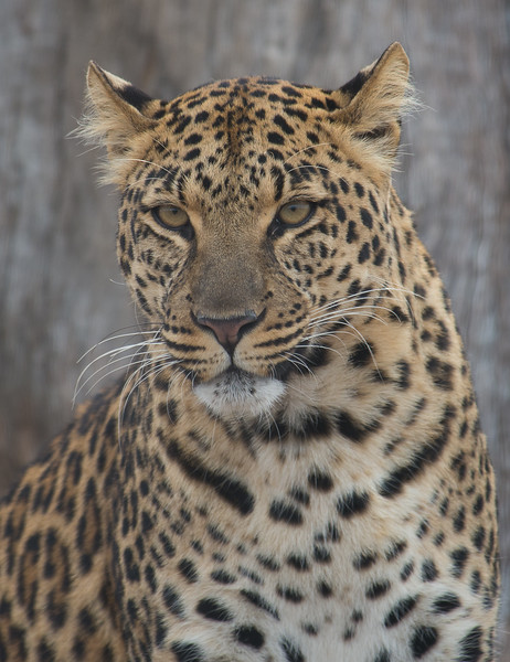 [Captive Animal] Leopard at rehab facility, South Africa