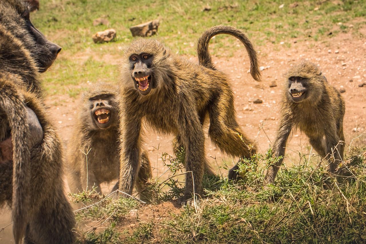 Savanna Baboons 9872