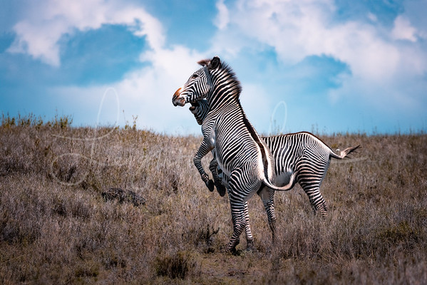 Grevy fight