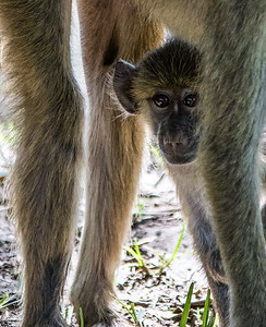 Baby vervet monkey looking through mom's legs