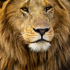 Handsome Male Lion
