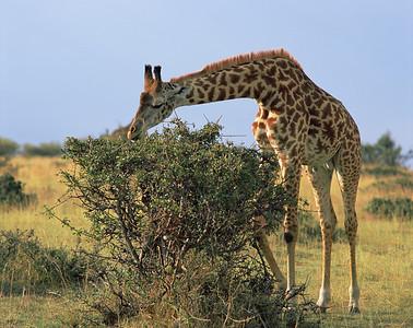 Kenya, Masai Mara National Reserve/ Foraging Giraffe, Masai race, Giraffa camelopardalis.