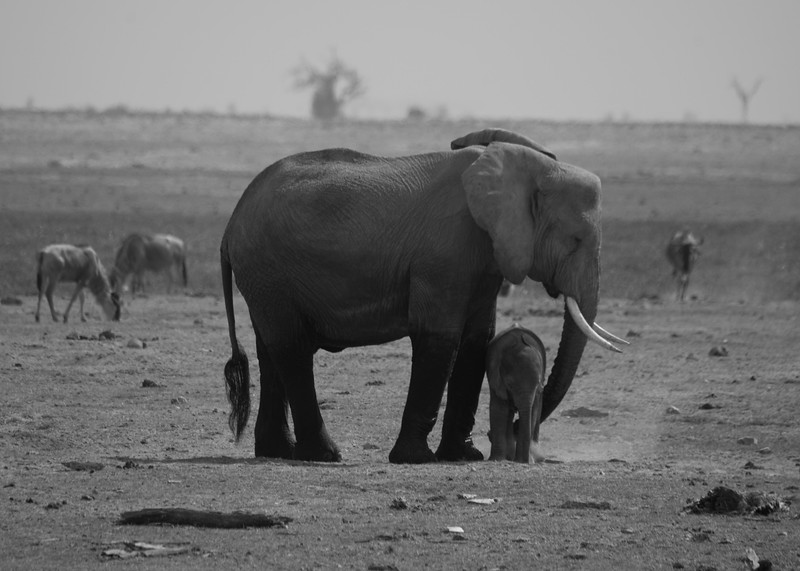 While the African elephant's overall population is decreasing by approximately 8% per year, there is some good news on the horizon. While the species is designated as vulnerable, conditions vary somewhat by region between East and Southern Africa. The populations in Southern Africa are thought to be increasing at 4% per annum, while other populations are declining.