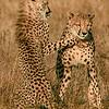 Cheetah Siblings