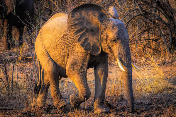 Elephant and sunset glow.  S Luangwa National Park