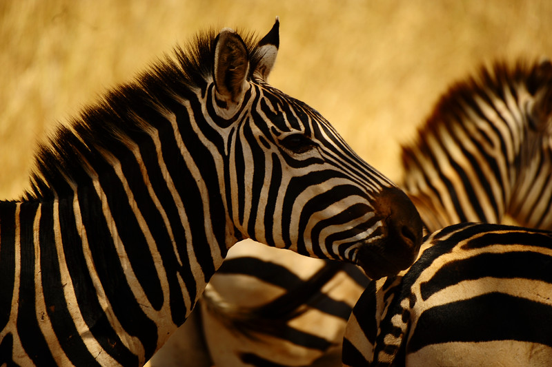 Zebras have excellent hearing and have larger, rounder ears than horses. Zebras can turn their ears in almost any direction. In addition to superb eyesight and hearing, zebras also have acute senses of smell and taste.