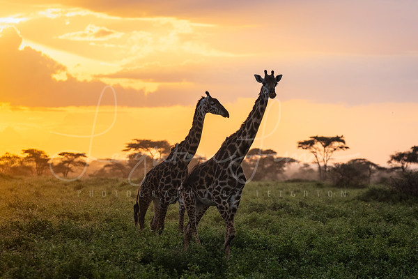 Roaming Giraffe Sunnset