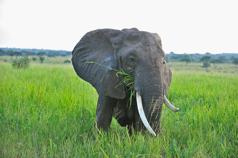 African Bush Elephant (Loxodonta africana) in the Tarangire national park in north Tanzania