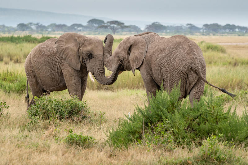 Elephants greeting each other in Amboseli National Park