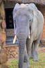 Courtyard elephants.  Mfuwe Lodge