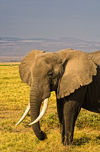 Elephant at the swamp