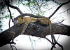 Leopard in tree.  S Luangwa National Park