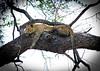 Leopard in tree.  S Luangwa National Park