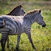 Luesistic Zebra 2
