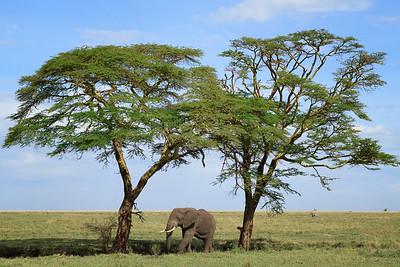 Elephant between two Acacia trees
