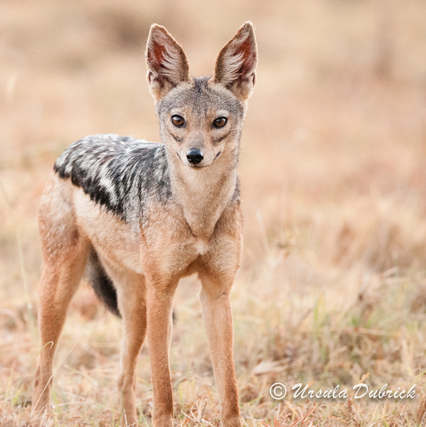 Black-back Jackal