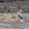 Zebras crossing the Mara River