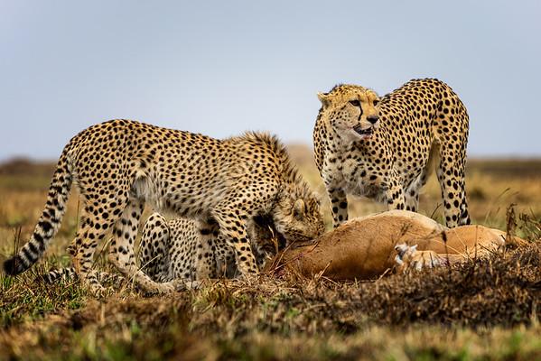 Cheetah family 7