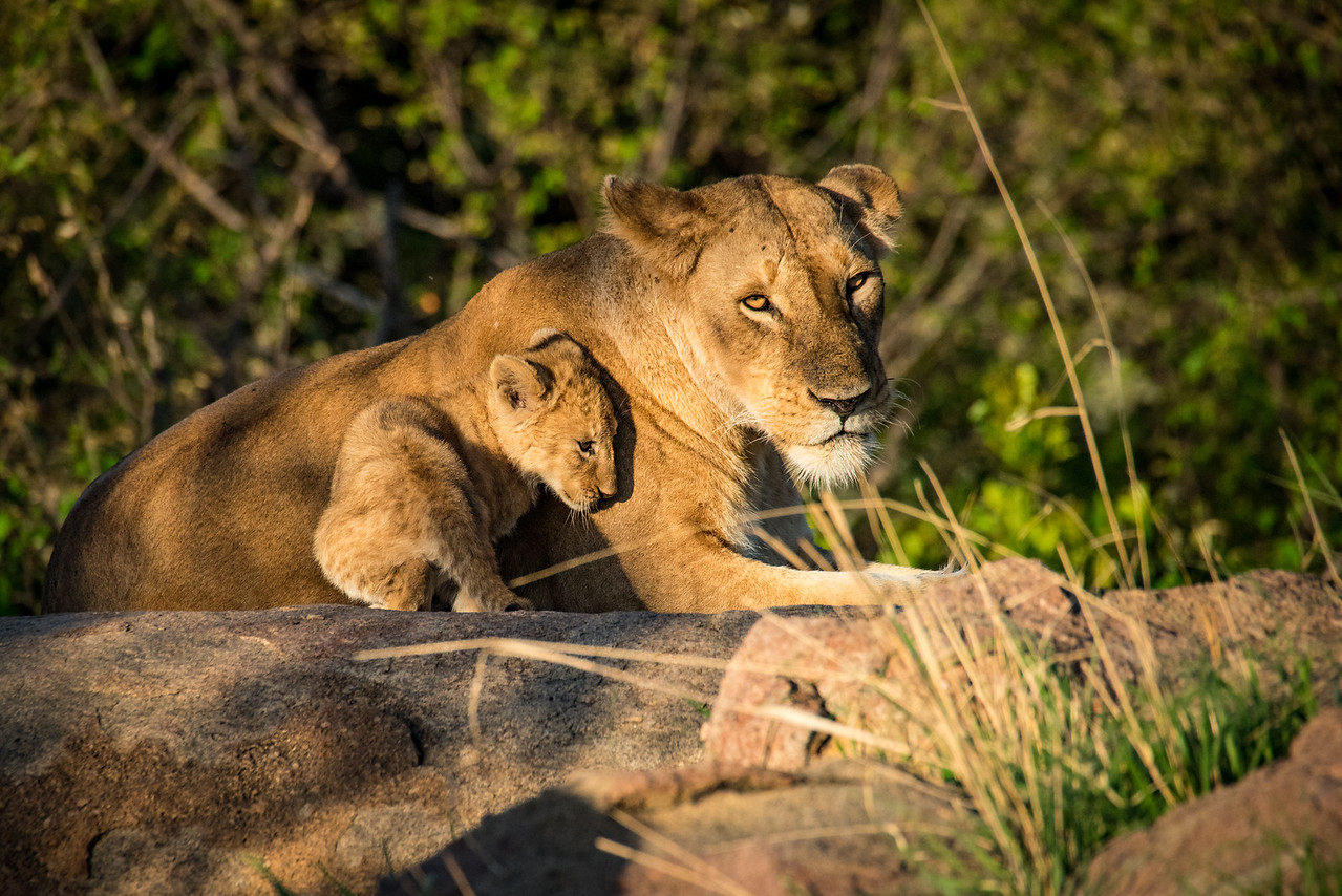 Lioness and Cub 1203