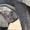Nursing Elephant