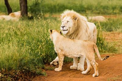 20170104_Lion_007