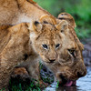 Baby Lion Cubs-2