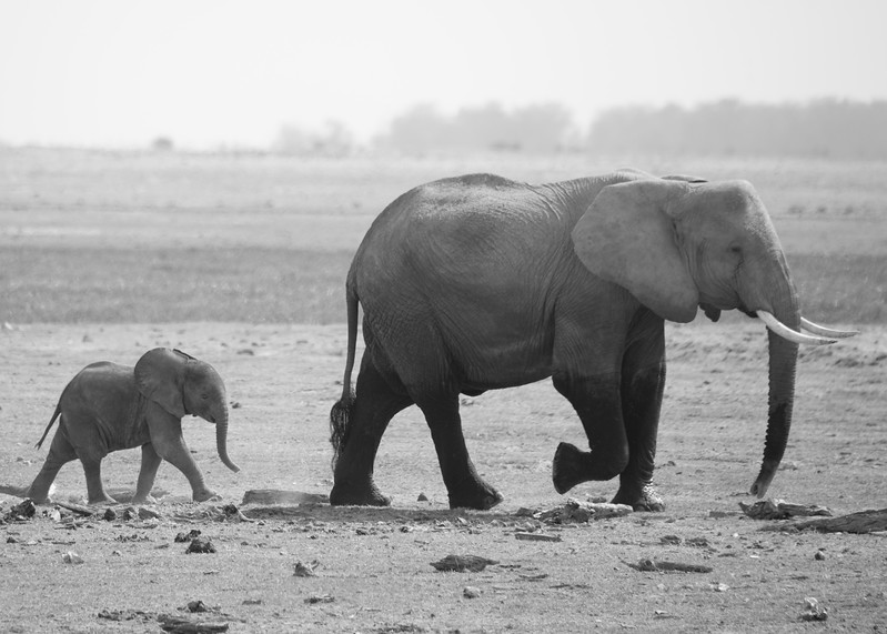 Newborn calves are vulnerable to lion and crocodile attacks, and rarely to leopard and hyena attack.  This predation, as well as drought, contribute significantly to infant mortality. The newborn elephant, known as a calf, is fortunate to be looked after by a tight-knit group of females. After it is born, rest of the herd acknowledges it by touching her with their trunks. These females members fo the herd often place the calf in the middle of a tight circle of elephants in order to protect it from the dangers that abound on the African savanna.
