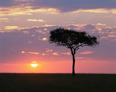 Kenya, Masai Mara National Reserve / Sunset behind silhouetted Acacia, Egyptica baratites.    804H3