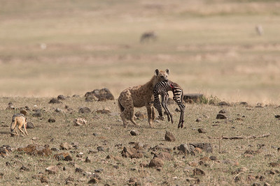 Hyena - has it easy in the savanna - Part 3/3
