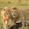 Two lions with a wildebeest kill