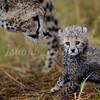 Sad cheetah cub