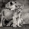 Lake Nakuru lions 6