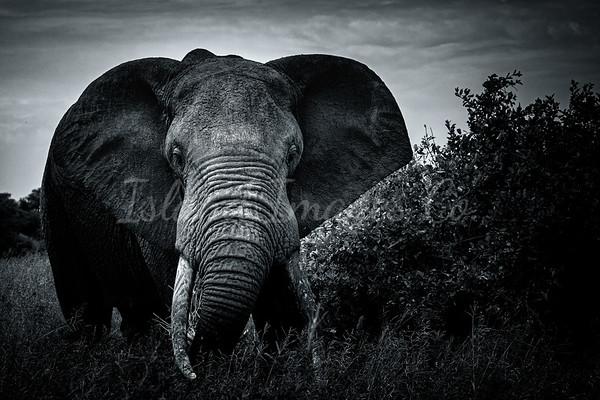 Elephant bnw Tarangiere