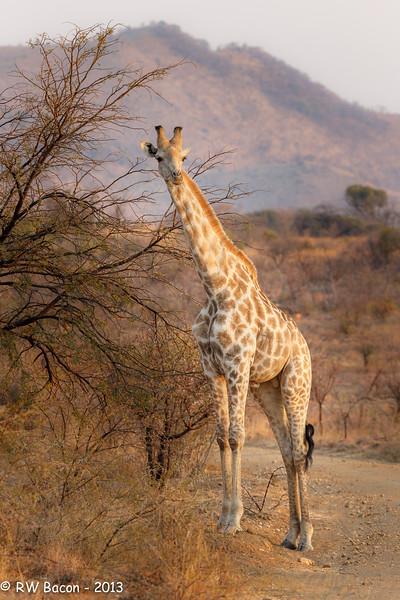 Pilanesberg Giraffe