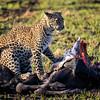Leopard cub on a kill